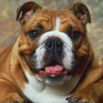 Tutto ciò che devi sapere sui bulldog